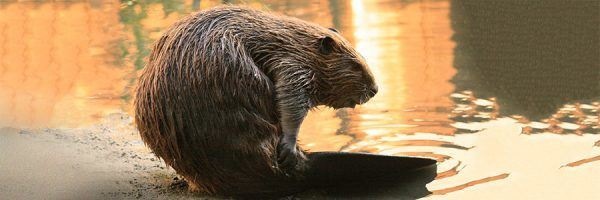 Photograph of a young adult beaver at the edge of a lake.