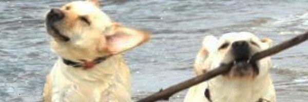 Picture of Iwona's two yellow labradors playing in a lake