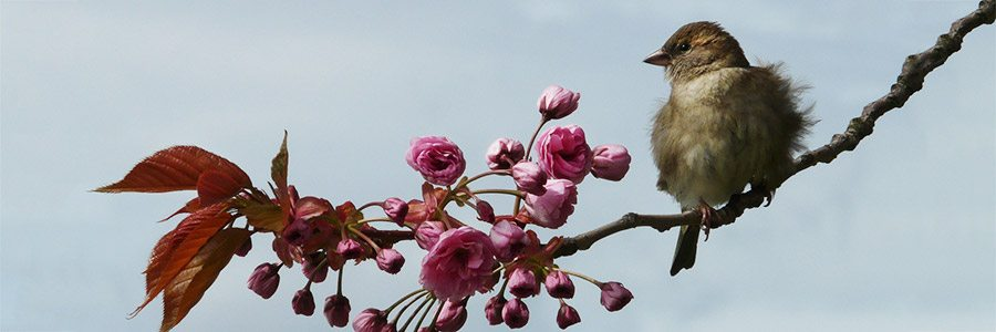 A sparrow on a branch with new, pink blossoms opening.