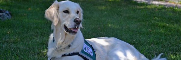a golden retriever service dog