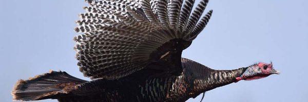 Wild turkey mid flight